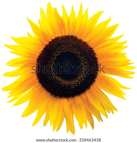 Common Sunflower Flower Head, Isolated Blooming Genus Helianthus H. Annuus, Large Bright Colorful Detailed Macro Closeup, Vibrant Petal Texture Pattern Detail, Black Brown Disk Florets, Annual Forb - stock photo