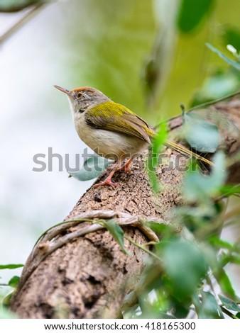 Common Tailor bird ( Orthotomus sutorius ) perching on Tree. - stock photo