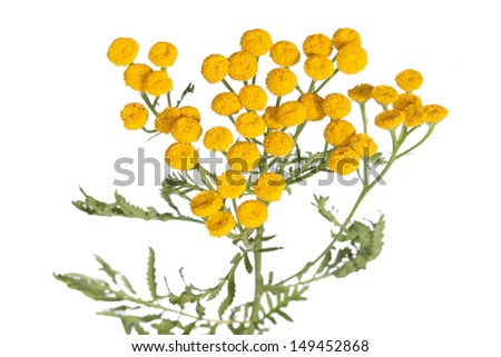 Common tansy isolated on white - stock photo