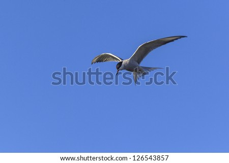 Common Tern as hovering in the sky