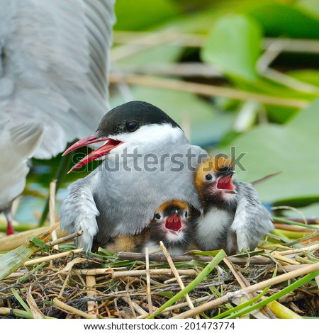 common tern feeding its chicks in the nest (sterna hirundo) - stock photo