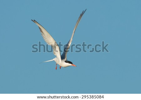 Common Tern flying across the clear blue sky.