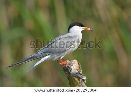 Common Tern (Sterna hirundo) on a log - stock photo
