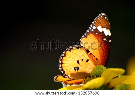 common tiger butterfly on yellow flower - stock photo