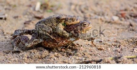 common toad - (Bufo bufo) - stock photo