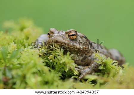 Common toad, (Bufo bufo)