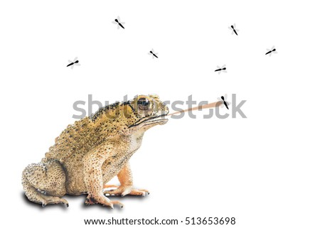 Common Toad (Bufo Bufo) isolated on white with clipping path, eating fly