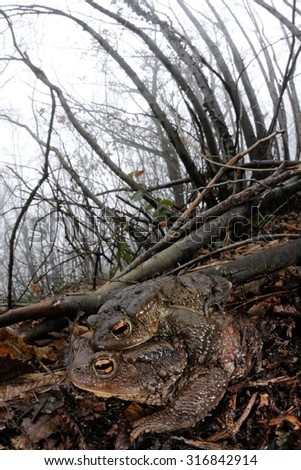 common toad (Bufo bufo) mating in their natural habitat in North Italy during a foggy winter day - stock photo