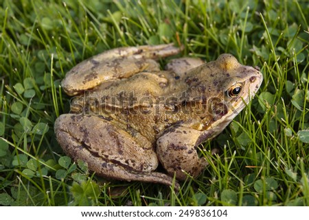 Common toad closeup on grass - stock photo
