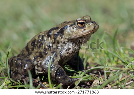 Common Toad in long green grass/Toad/Common Toad (Bufo Bufo) - stock photo