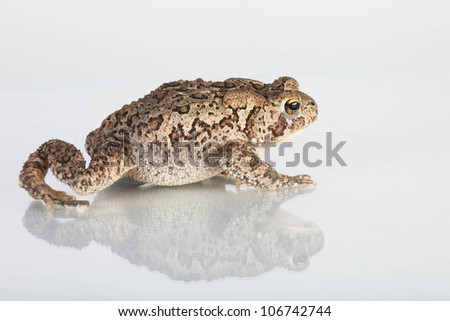 Common Toad on a white background with reflection