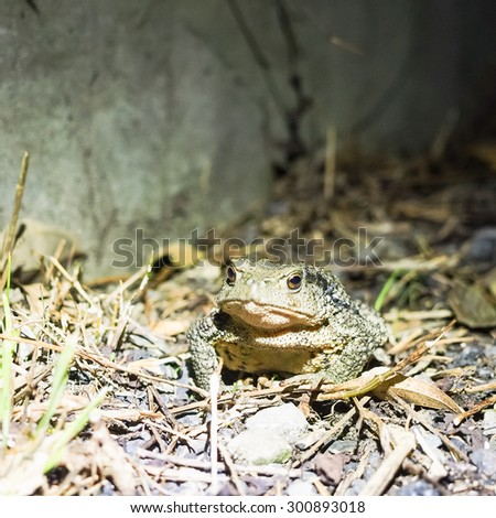 common toad on the ground - stock photo