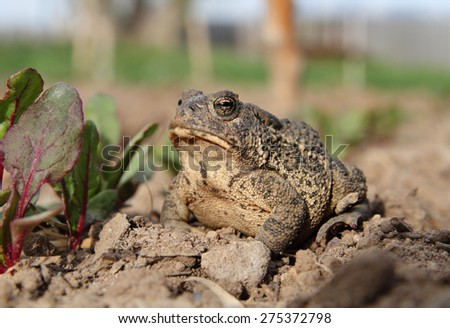 common toad sitting in garden close up