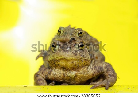 Common toads mating, isolated on yellow - stock photo