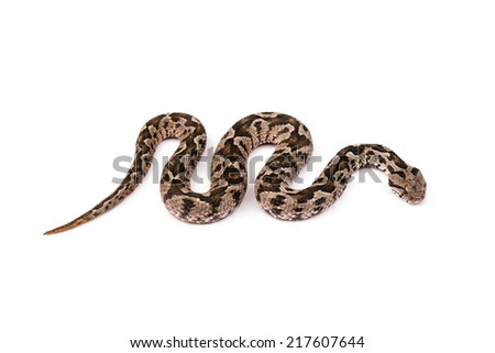 Common viper snake isolated on white background - stock photo