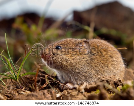 Common Vole (Microtus arvalis) in it's Natural Rural Open Habitat - stock photo