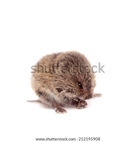Common Vole, 3 weeks old, on white - stock photo