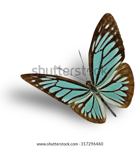 Common Wanderer (Pareronia anais) the beautiful flying blue butterfly on white background with soft shadow beneath - stock photo