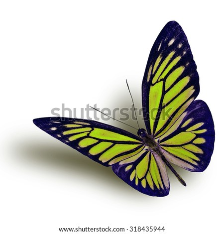 Common Wanderer (Pareronia anais) the beautiful flying yellow butterfly on white background with soft shadow beneath - stock photo