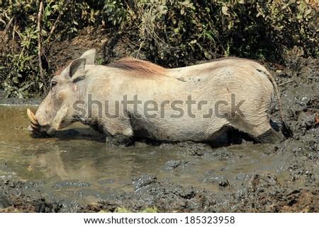 Common Warthog (Phacochoerus Africanus) in Mud Drinking Water, Serengeti, Tanzania - stock photo