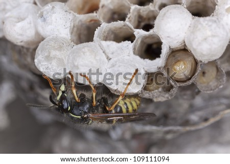 Common wasp, Vespula vulgaris and larva on wasp's nest, photographed with high magnification - stock photo