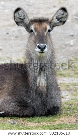 Common waterbuck female. Latin name - Kobus ellipsiprymnus