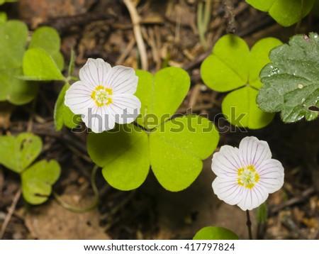 Common Wood Sorrel, Oxalis acetosella, flowers macro with leaves defocused, selective focus, shallow DOF - stock photo