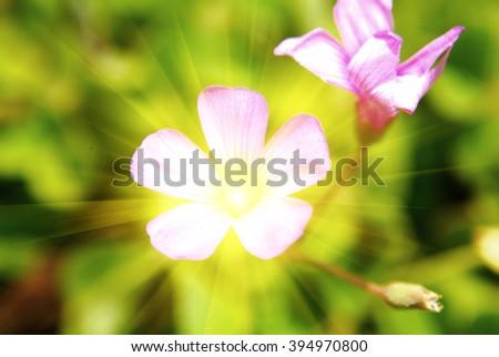 Common wood sorrel white flowers - Oxalis acetosella - stock photo