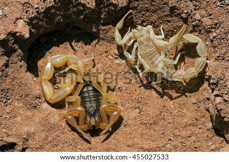 Common Yellow Scorpion next to shed skin/Scorpion/Common Yellow Scorpion (Buthus Occitanus)