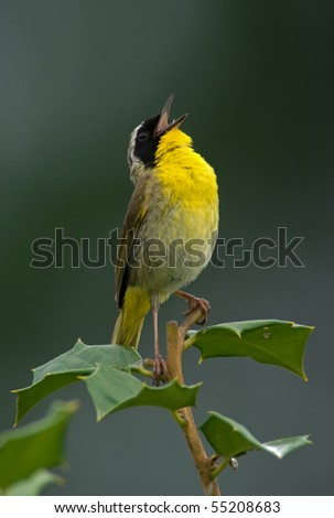 Common Yellowthroat (Geothlypis trichas) shouting out your message to the world. - stock photo