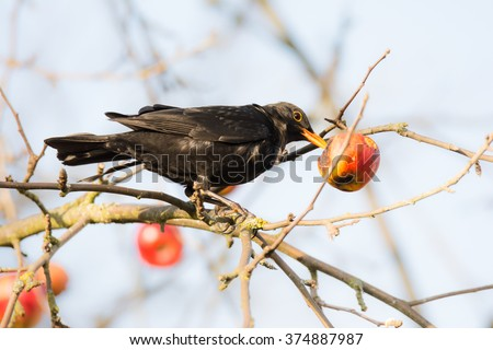 Commonb blackbird pecking and eating apple in an apple tree