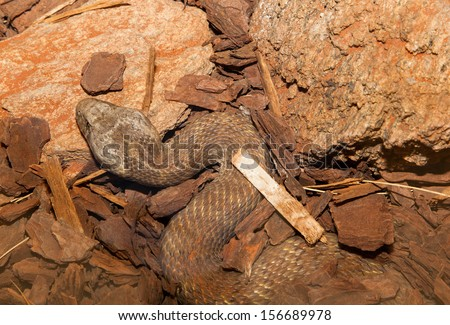 Commonly called death adders, they are native to northern Australia,among the most venomous snakes in the world. see small, worm like lure on the end of their tail, which is used to attract prey. - stock photo