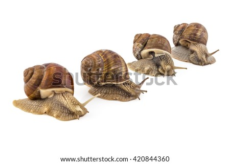 Competition of four garden snails (Helix aspersa) on white background. Teamwork concept, race. - stock photo
