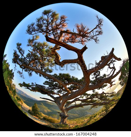 Complete circular fisheye view of the Pine on top of the mountain Sokol. Noviy Svet, Crimea, Ukraine  - stock photo