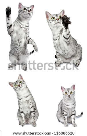 composite group of egyptian mau cats in various action poses