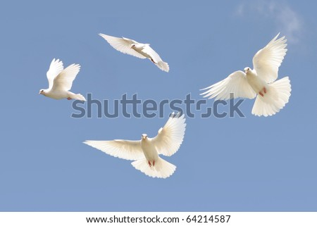 Composite of a beautiful white dove in flight - stock photo