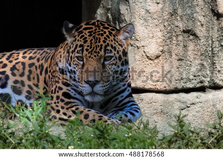 Composite of Powerful Jaguar resting in grass by a Stone Wall displaying muscular features and penetrating eyes.