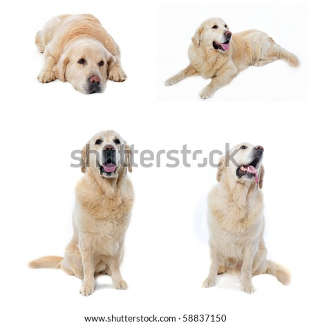 composite picture with golden retriever in a white background - stock photo