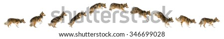 Composition of a Shetland Sheepdog jumping in front of a white background - stock photo