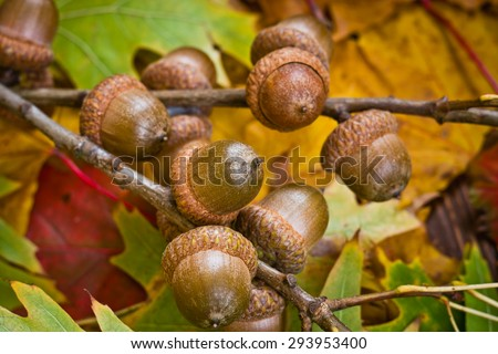 Composition of acorns from oak - stock photo