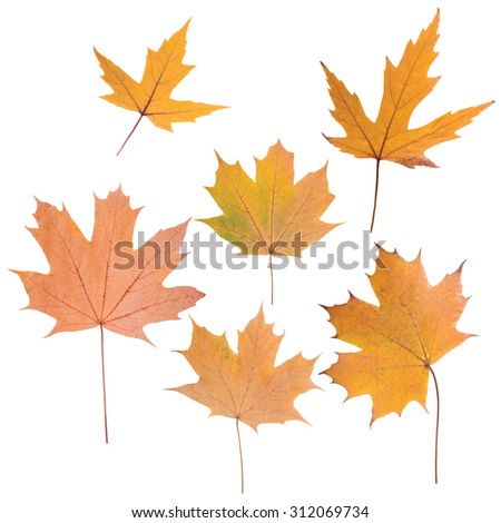 composition of beautiful colored autumn leaves close up isolated on white background - stock photo
