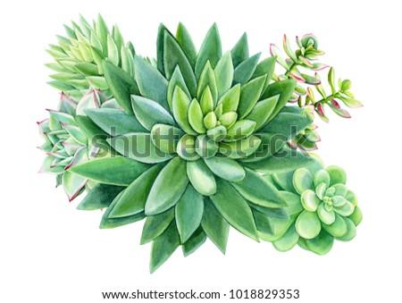 composition succulents cactus green plants botanical stock. Black Bedroom Furniture Sets. Home Design Ideas
