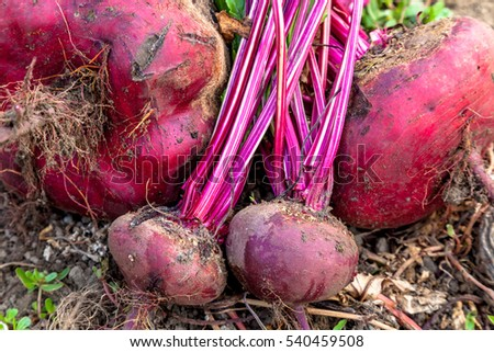Composition of sugar beets on a soil background
