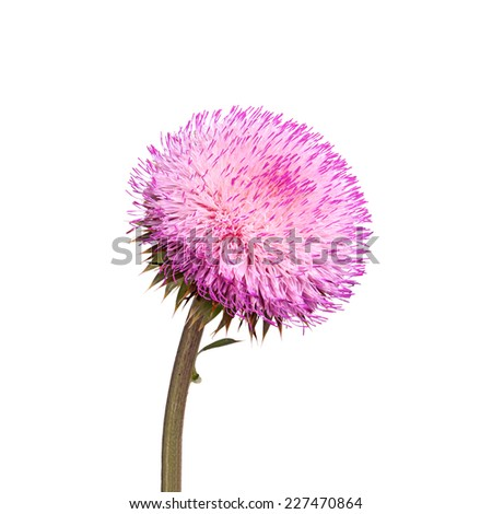 Compound flower of musk thistle (Carduus nutans) isolated against a white background - stock photo