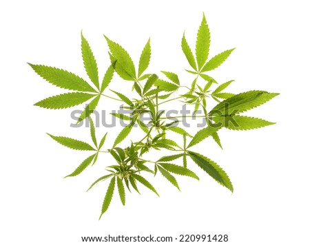Compromised wild hemp isolated on white background  - stock photo