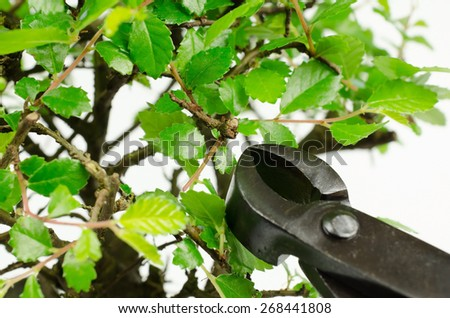 concave cutter with bonsai (chinese elm) - stock photo