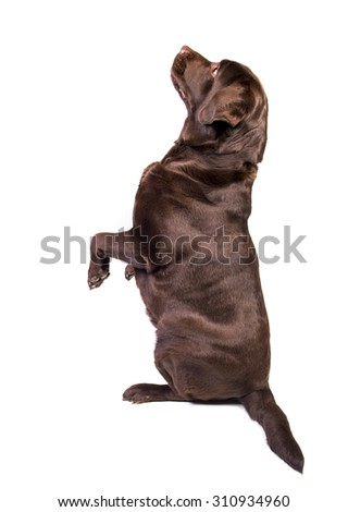 Concentrated and hungry chocolate labrador dog girl is begging for food. Isolated on the white background - stock photo
