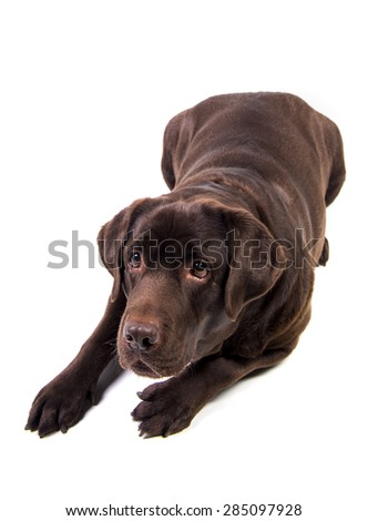 Concentrated and hungry chocolate labrador dog girl is isolated on the white background - stock photo
