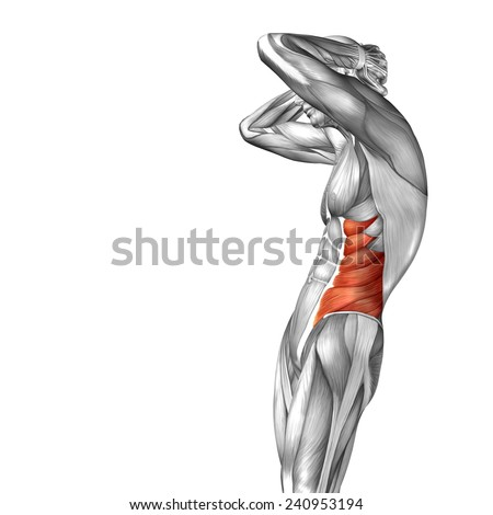 Concept conceptual 3D abdomen human anatomy or anatomical and muscle isolated on white background, metaphor to body, tendon, spine, fit, abs, strong, biological, gym, fitness, skinless, health medical - stock photo