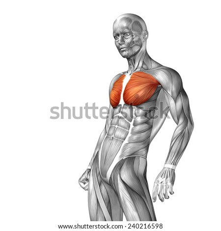 Concept conceptual 3D chest human anatomy or anatomical and muscle isolated on white background, metaphor to body, tendon, spine, fit, abs, strong, biological, gym, fitness, skinless, health medical